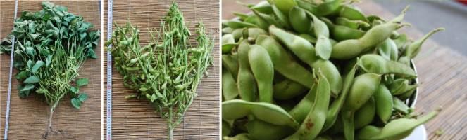 減農薬黒枝豆